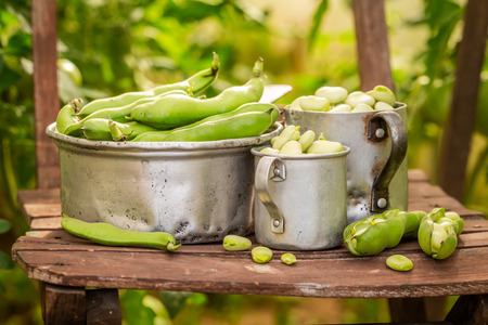 Delicious broad beans in a small greenhouse