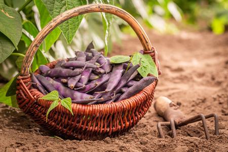 Closeup of purple beans in a wicker basket Stock Photo