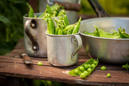 Tasty green peas in a small greenhouse Stock Photo