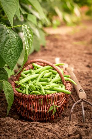 Fresh green beans in a wicker basket on the field