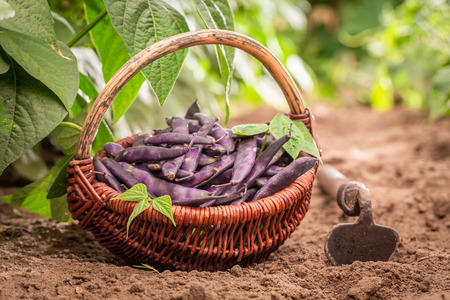 Healthy red beans in a wicker basket on the field