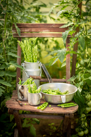 Fresh green peas in a small greenhouse