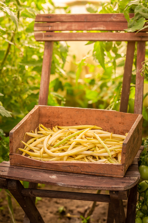 Tasty yellow beans in a old wooden box in greenhoue Stock Photo