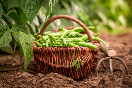 Raw green beans in a wicker basket on the field Stock Photo