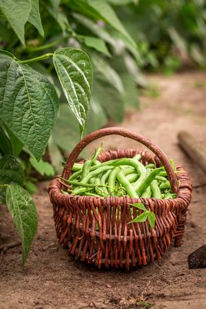 Tasty green beans in a wicker basket on the field Stock Photo