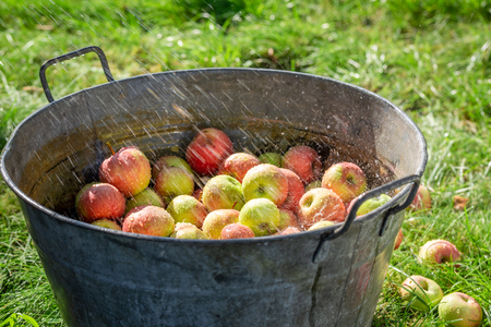 Fresh and healthy apples in sunny day