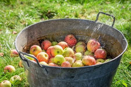Fresh and healthy apples in summer garden