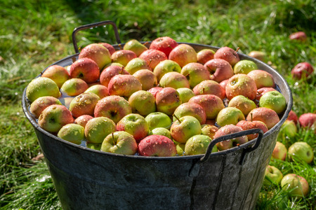 Ripe and sweet apples in summer garden