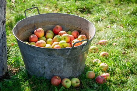 Ripe and sweet apples in sunny day Stock Photo