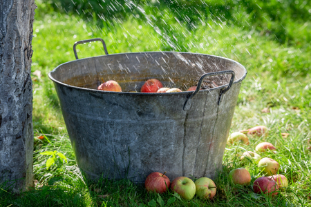 Harvested and washed apples in old metal washtub Stock Photo