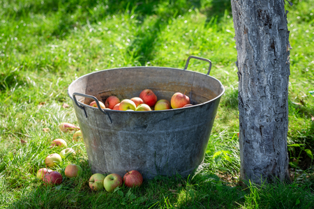 Harvested and washed apples in summer garden Stock Photo