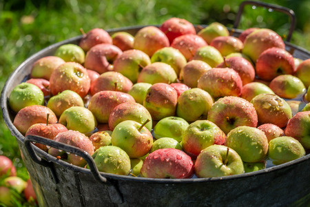 Ripe and sweet apples in old metal washtub
