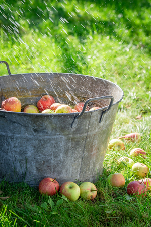Fresh and healthy apples in old metal washtub Stock Photo