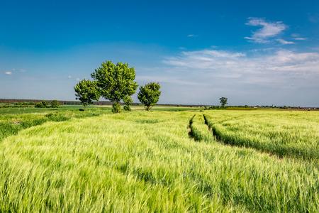 Green ears of grain on field in summer