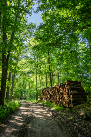 Sunny green forest in the summer in Poland Stock Photo