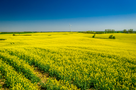 Yellow rape fields and wind turbine in the spring Reklamní fotografie