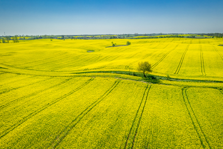 Flying above green and yellow rape fields in the spring