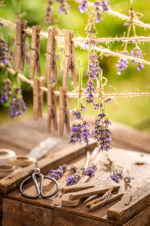 Violet lavender dried on laundry lines in summer garden Imagens