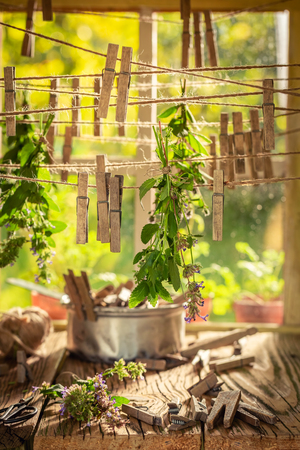 Herbal dryer with mint leaves hanging on lines in summer