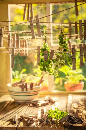 Freshly harvested oregano leaves drying in homemade dryer