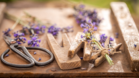Closeup of freshly harvested lavender in a summer garden Imagens