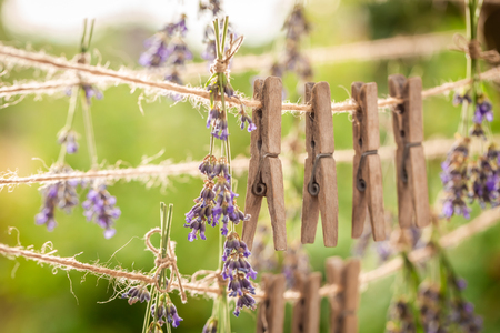 Fresh lavender drying on a line with clasps in garden