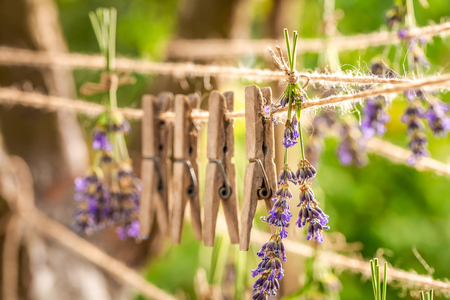 Aromatic lavender dried on laundry lines in summer garden