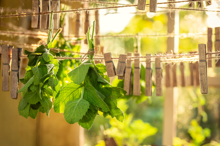 Closeup of harvested mint hanging on laundry lines with clasps
