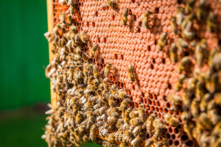 Frame full of honey and bees in summer Stock Photo