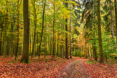 Beautiful and gold forest in the fall, Europe
