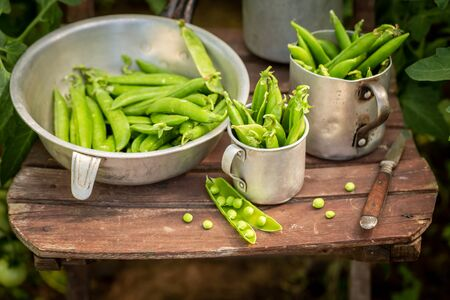 Fresh green peas in a small greenhouse in summer