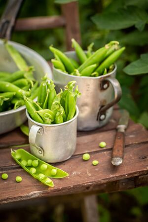 Closeup of green peas in old aluminum pot in greenhouse