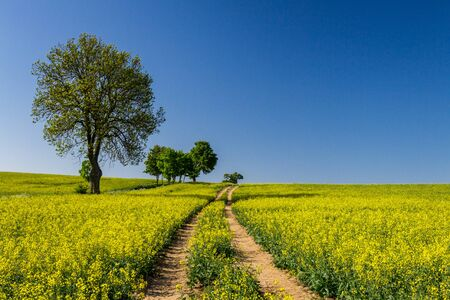 Country road and yellow field of rape in summer