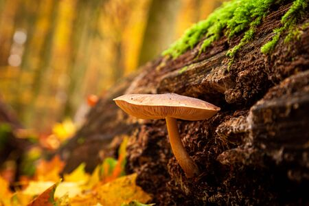 Closeup of wild mushrooms on a forest stump with moss Stock Photo - 126037887