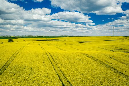 Yellow rape fields with blue sky, aerial view of Poland
