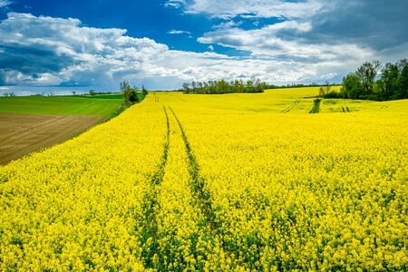 Aerial view of yellow rape fields in spring, Poland Reklamní fotografie