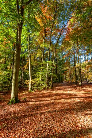 Gold and beautiful forest in the autumn in Poland