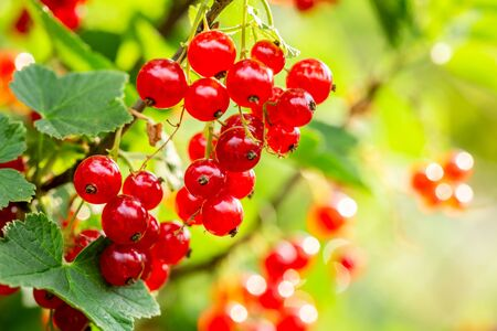 Redcurrant on bush in garden in summer sunny day 스톡 콘텐츠