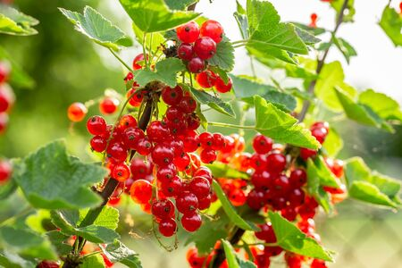 Sweet redcurrant on bush in garden in sunny day