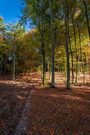 Gold and beautiful forest in the sunny autumn in Poland