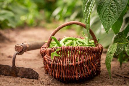 Green beans in a wicker basket on countryside Reklamní fotografie - 130115914