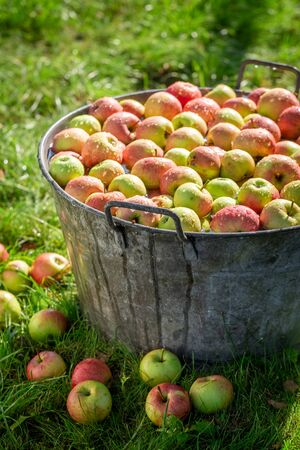 Tasty and sweet apples in old metal washtub