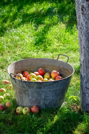 Harvested and washed apples in summer green garden Reklamní fotografie - 130115921
