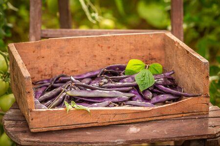 Freshly harvested purple beans in a old wooden box Reklamní fotografie - 130115919