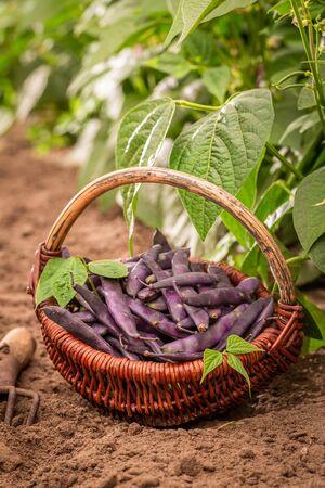 Closeup of purple beans in a old wicker basket Reklamní fotografie - 130115925