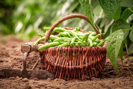 Ffresh green beans in old wicker basket