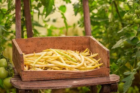 Yellow beans in a old wooden box in old greenhoue Reklamní fotografie - 130115977