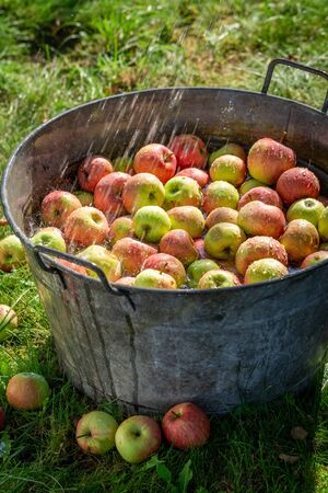 Fresh and healthy apples in sunny garden Reklamní fotografie - 130115978