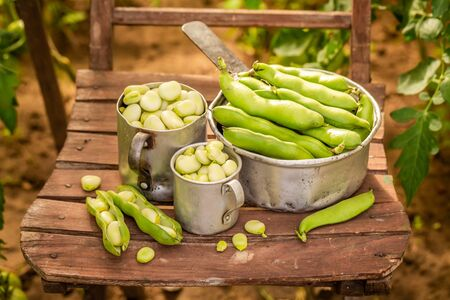 Fresh and raw green broad beans in small greenhouse