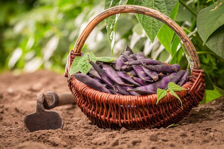 Raw and fresh purple beans on the field Reklamní fotografie - 130115986